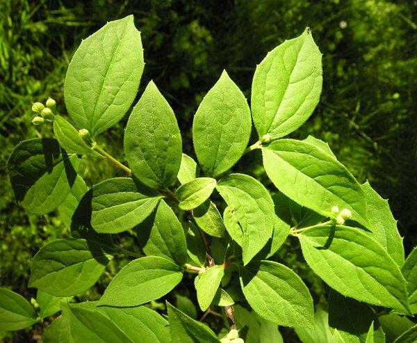 Deutzia longifolia Franch.