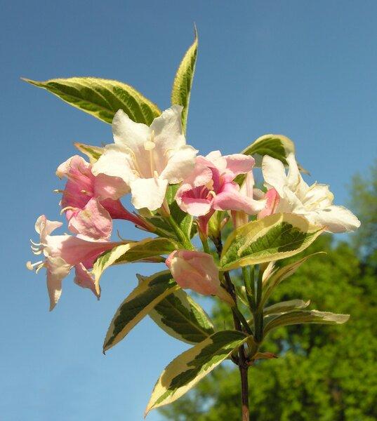 Diervilla rosea (Lindl.) Walp. 'Variegata'