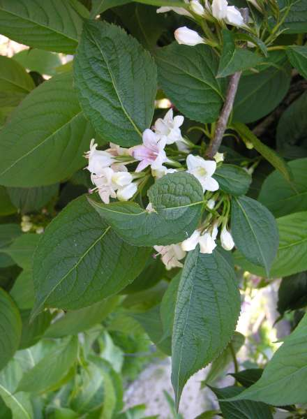 Weigela japonica Thunb.