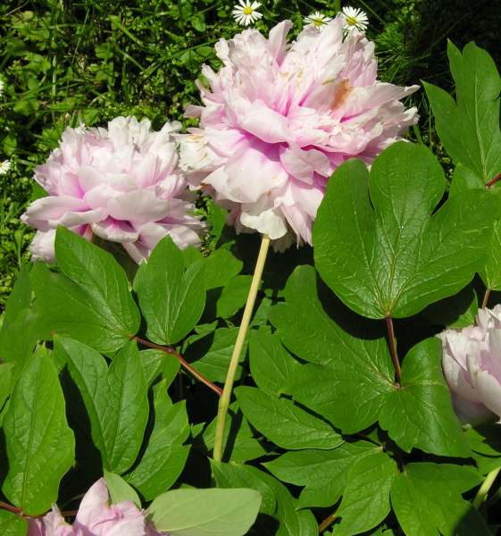 Paeonia suffruticosa Andrews subsp. suffruticosa