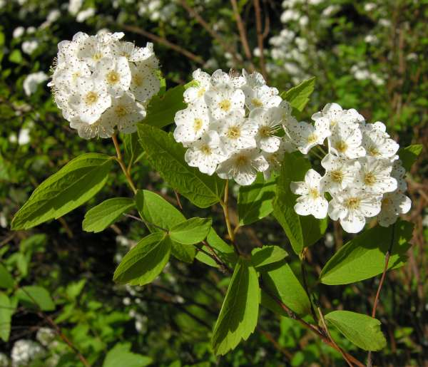 Spiraea grandiflora (Sweet) Maxim.