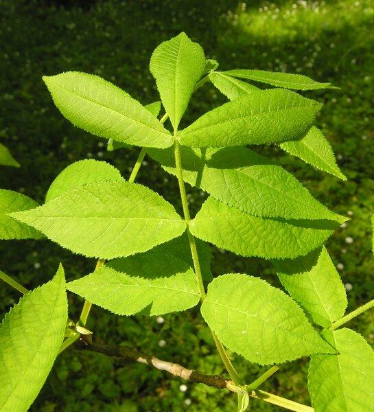 Carya cordiformis (Wangenh.) K.Koch