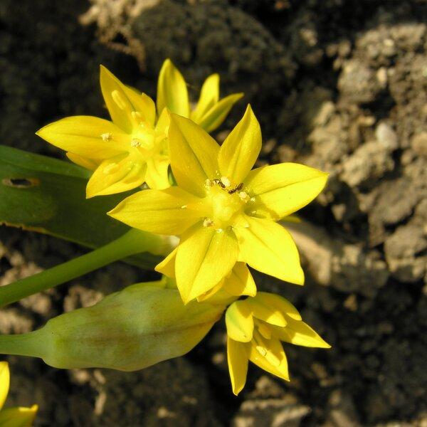 Allium moly L.