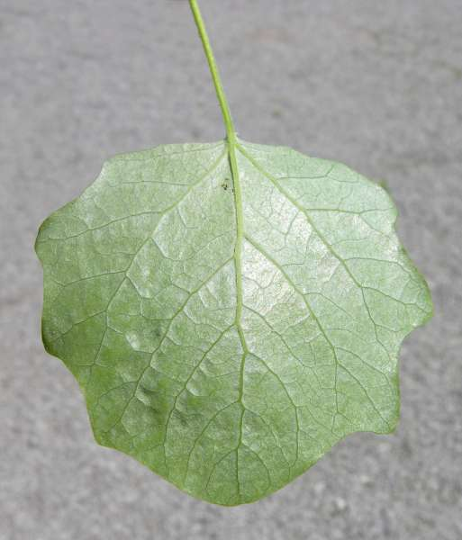 Populus canescens (Aiton) Sm.