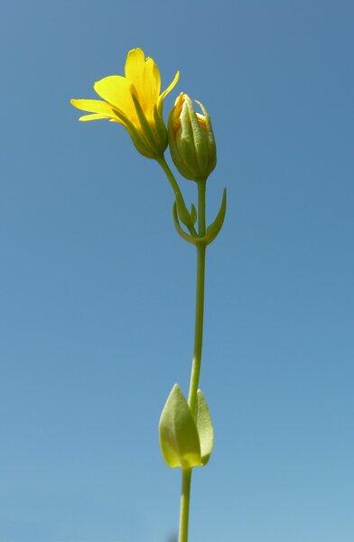Blackstonia perfoliata (L.) Huds. subsp. perfoliata