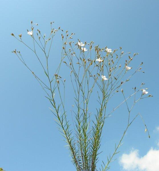 Linum usitatissimum L. subsp. angustifolium (Huds.) Thell.