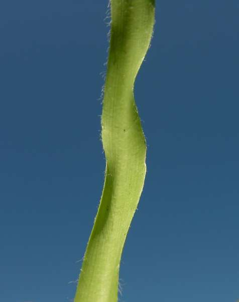 Allium subhirsutum L. subsp. subhirsutum