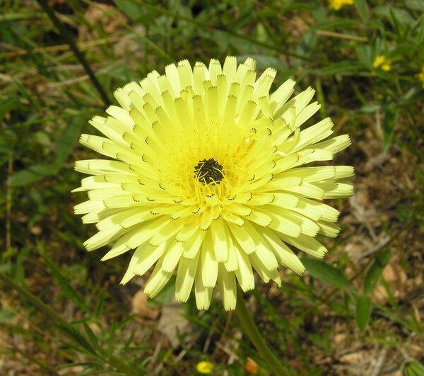 Urospermum dalechampii (L.) F.W.Schmidt