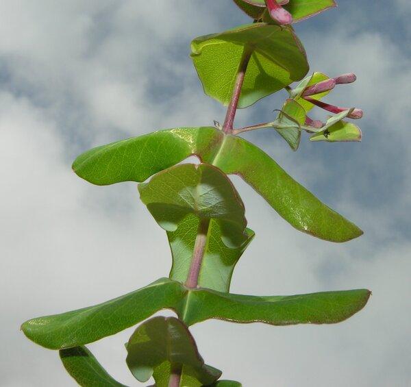 Lonicera implexa Aiton subsp. implexa