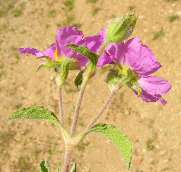 Cistus creticus L. subsp. eriocephalus (Viv.) Greuter & Burdet