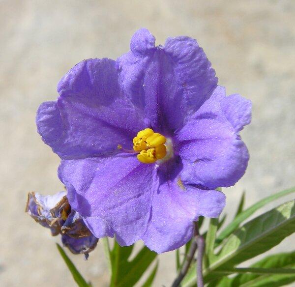 Solanum laciniatum Aiton
