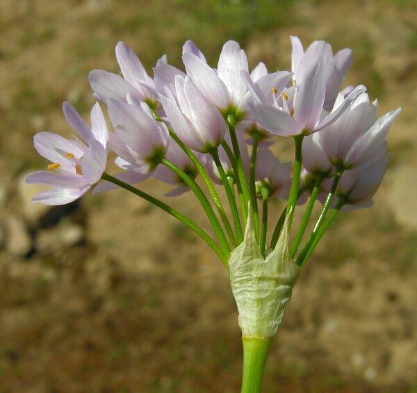 Allium roseum L. subsp. roseum