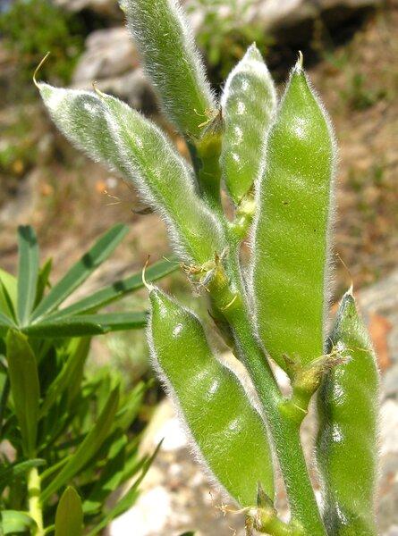 Lupinus angustifolius L.
