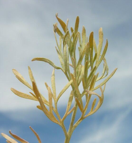 Artemisia arborescens (Vaill.) L.