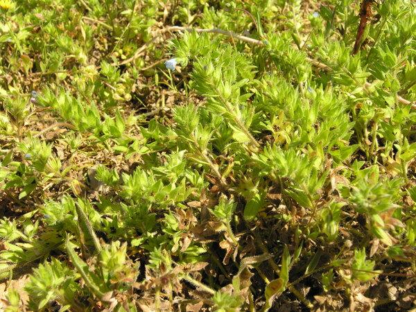 Echium parviflorum Moench