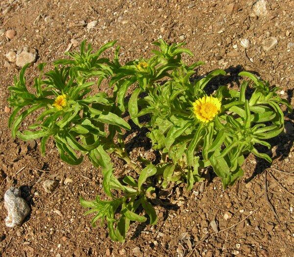 Pallenis spinosa (L.) Cass. subsp. spinosa