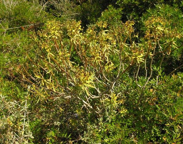 Euphorbia dendroides L.