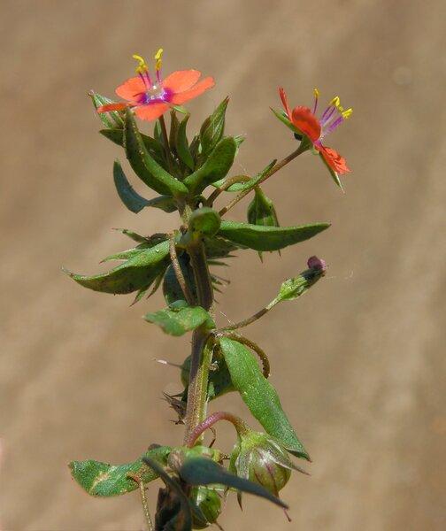 Lysimachia arvensis (L.) U.Manns & Anderb. subsp. arvensis