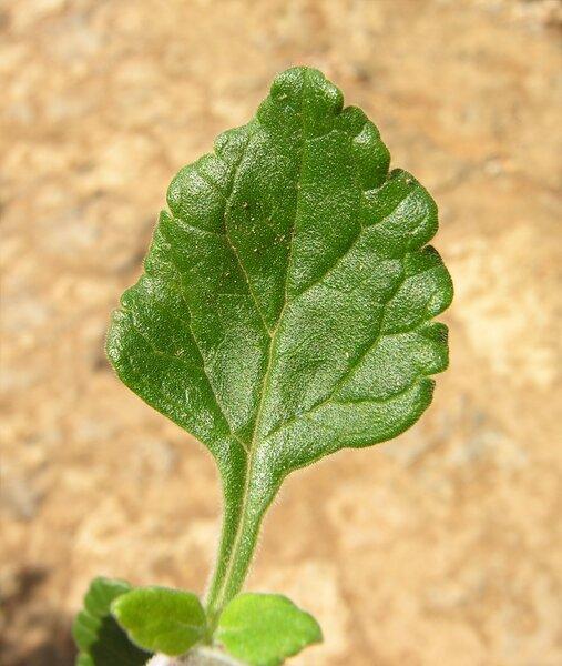 Teucrium flavum L. subsp. flavum