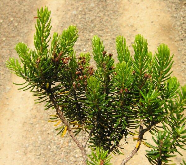 Erica multiflora L. subsp. multiflora