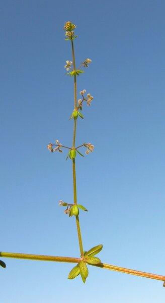 Galium parisiense L.