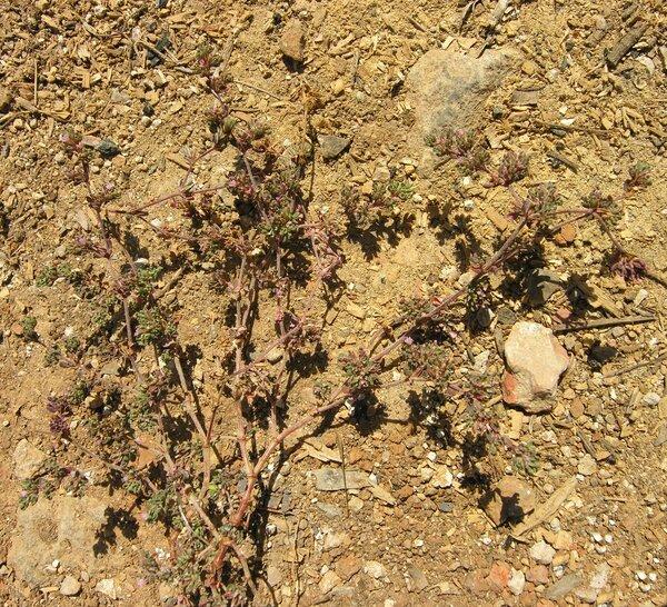 Frankenia pulverulenta L. subsp. pulverulenta
