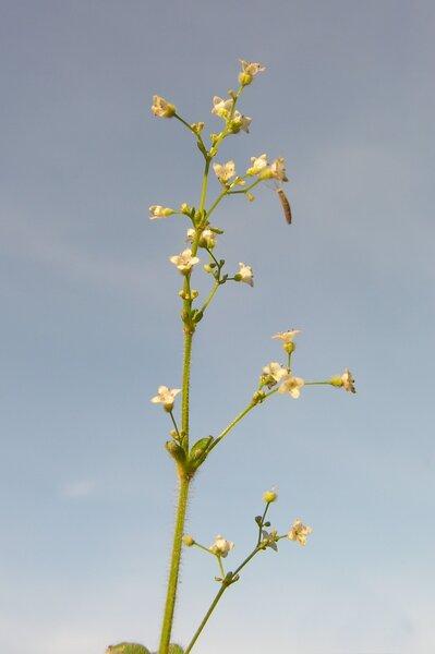 Galium scabrum L.
