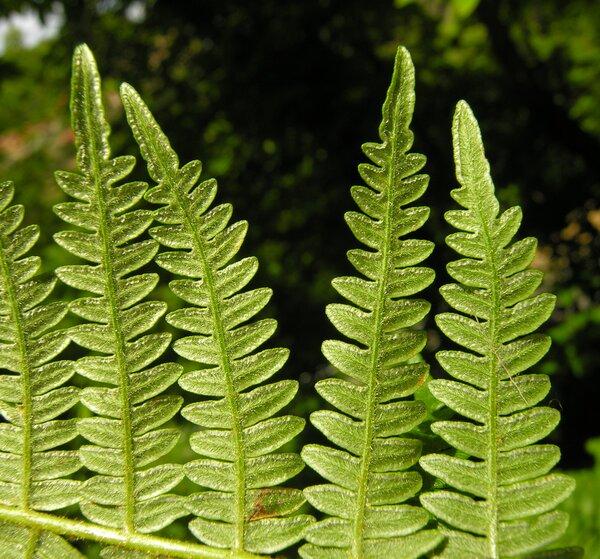 Pteridium aquilinum (L.) Kuhn subsp. aquilinum