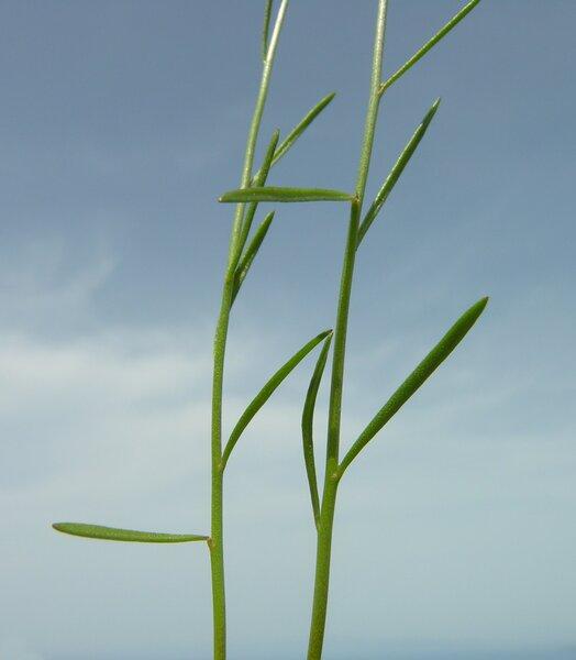 Linaria pelisseriana (L.) Mill.