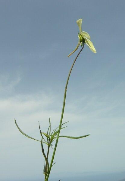 Viola ilvensis (W.Becker) Arrigoni