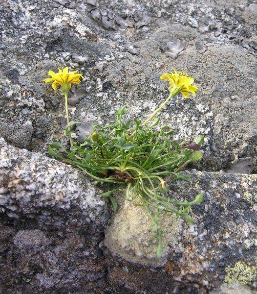 Robertia taraxacoides (Loisel.) DC.