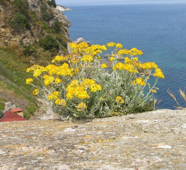 Jacobaea maritima (L.) Pelser & Meijden subsp. maritima