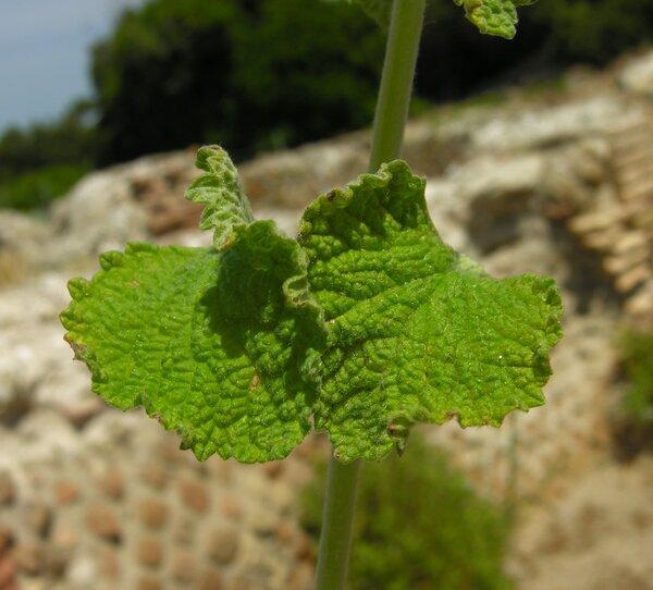 Marrubium vulgare L.