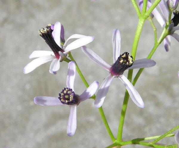 Melia azedarach L.