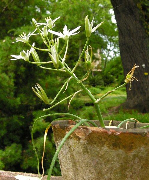 Ornithogalum orthophyllum Ten.