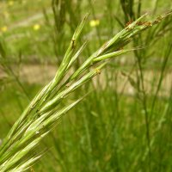 Bromopsis erecta (Huds.) Fourr.