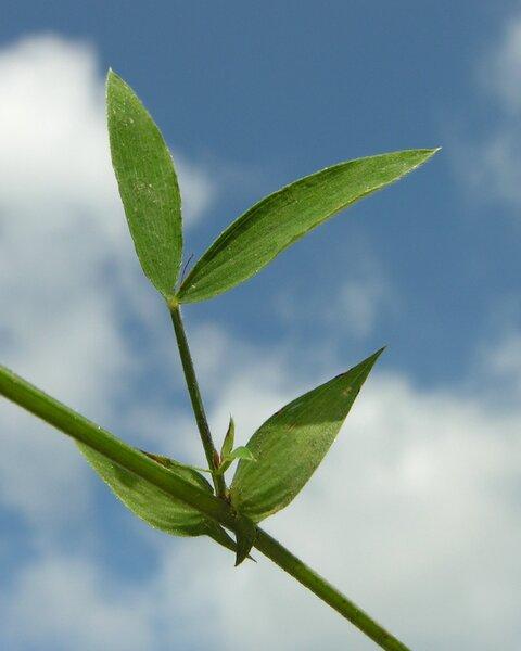 Lathyrus pratensis L. subsp. pratensis