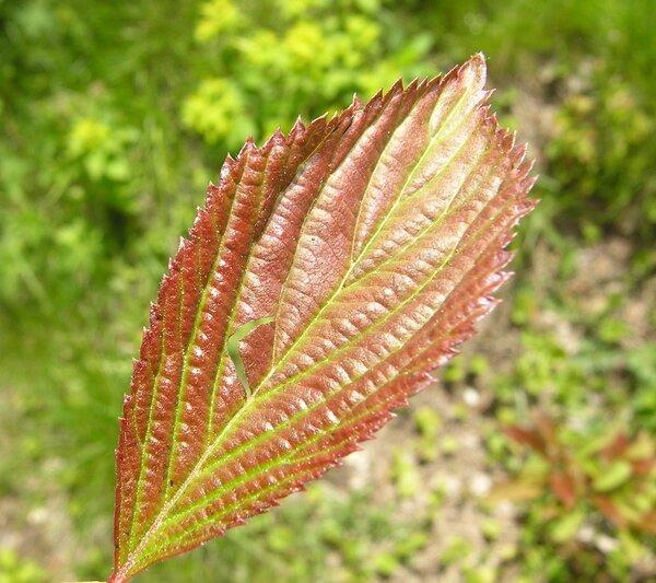 Viburnum farreri Stearn