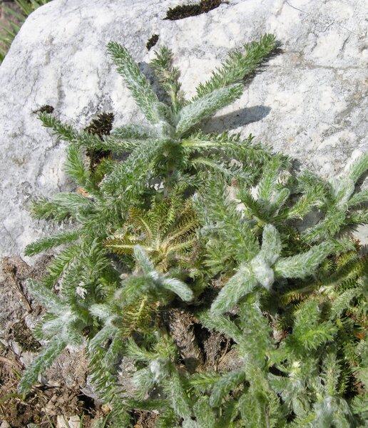 Achillea chrysocoma Friv.