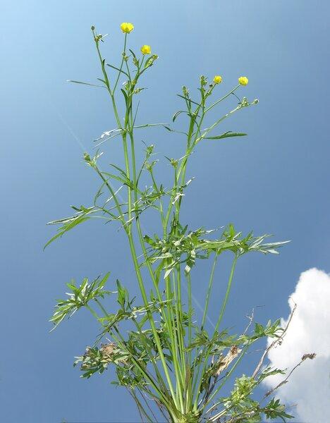 Ranunculus acris L. subsp. acris