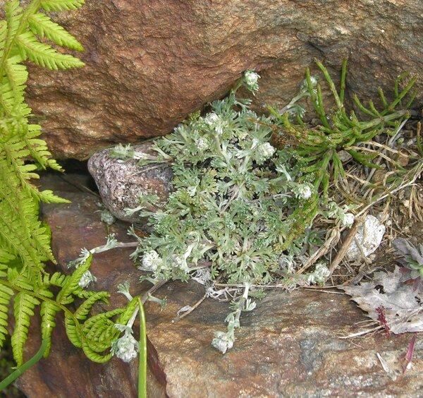 Artemisia umbelliformis Lam.