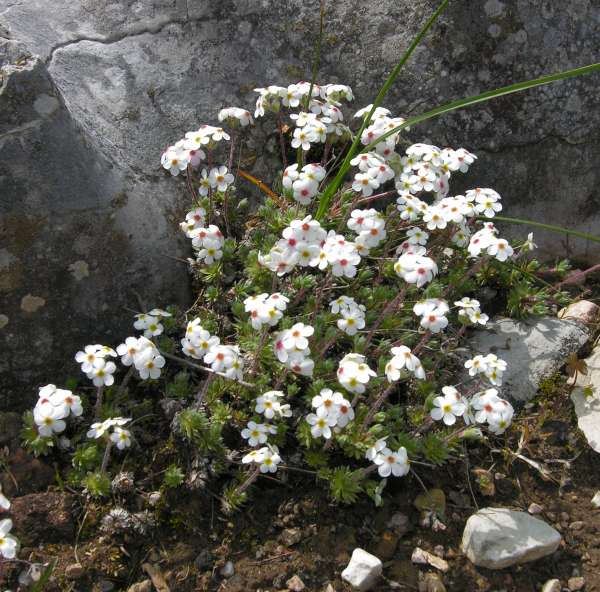 Androsace villosa L. subsp. villosa