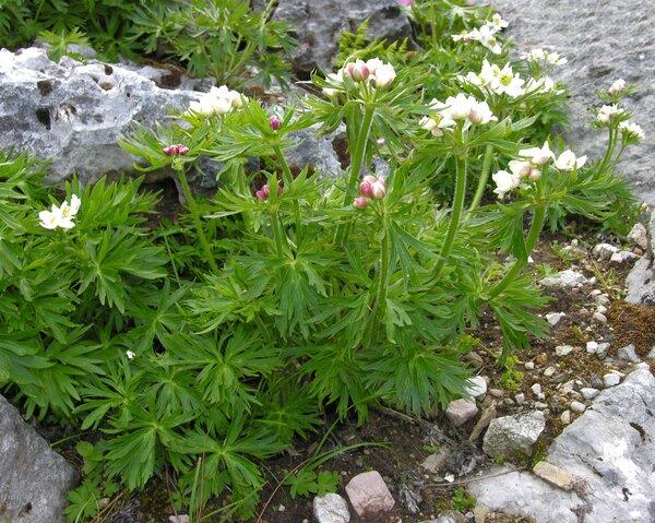 Anemonastrum narcissiflorum (L.) Holub subsp. narcissiflorum