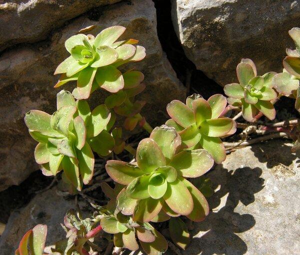 Hylotelephium anacampseros (L.) H.Ohba