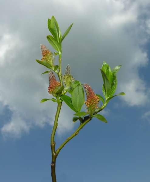 Salix sp.