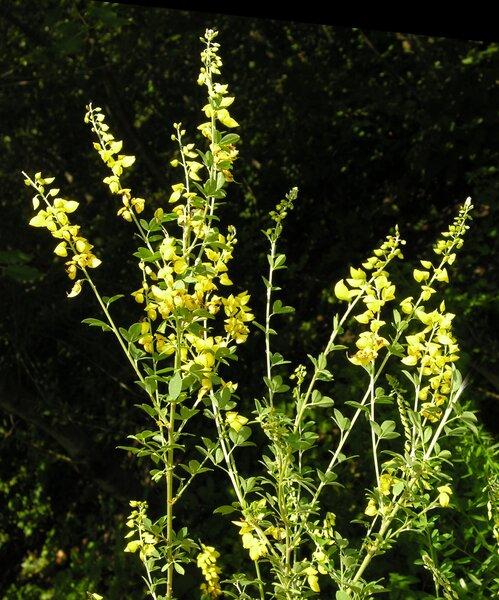 Cytisus nigricans L.