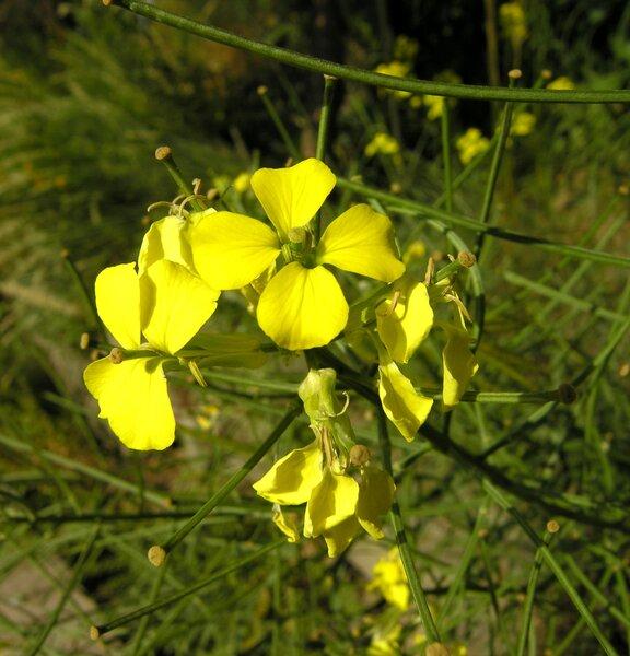 Erysimum pseudorhaeticum Polatschek