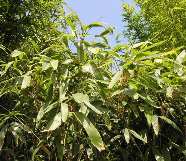 Indocalamus solidus C.D.Chu & C.S.Chao