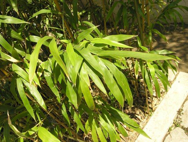 Semiarundinaria fastuosa (Lat.-Marl. ex Mitford) Makino