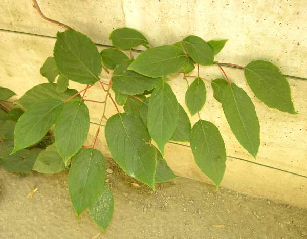 Actinidia arguta (Siebold & Zucc.) Planch. ex Miq.